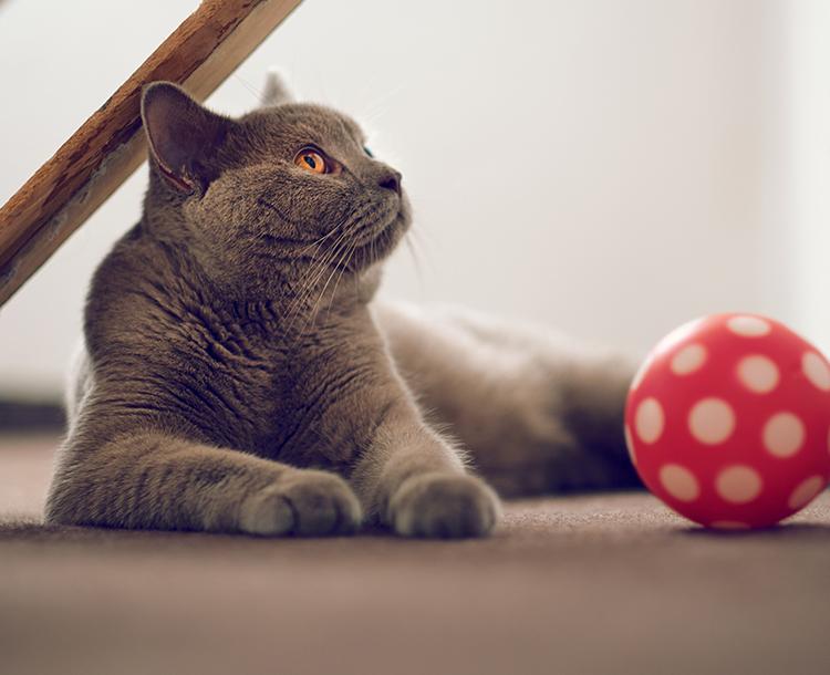 Kediler de Sevgilerini Gösterir! Kedilerin Sevgi Belirtileri