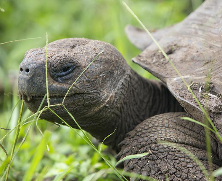 Galapagos Kaplumbağalarının Nesli Tükendi Mi?