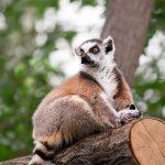 Nesli Tükenmeye Başlayan Lemurlarla İnsanlar Arasındaki Şaşırtıcı Benzerlikler