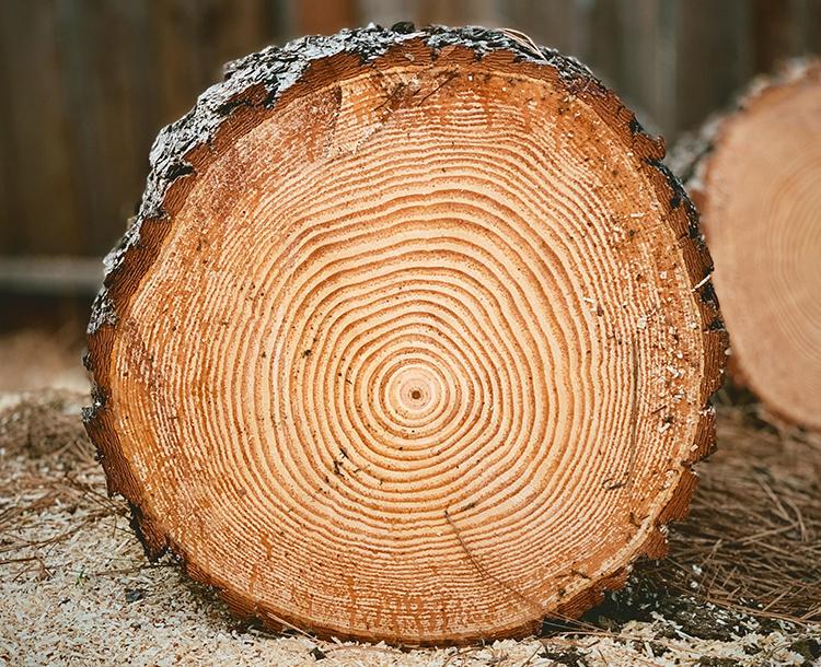 Ağaç Halkaları Bize Ne Anlatıyor?