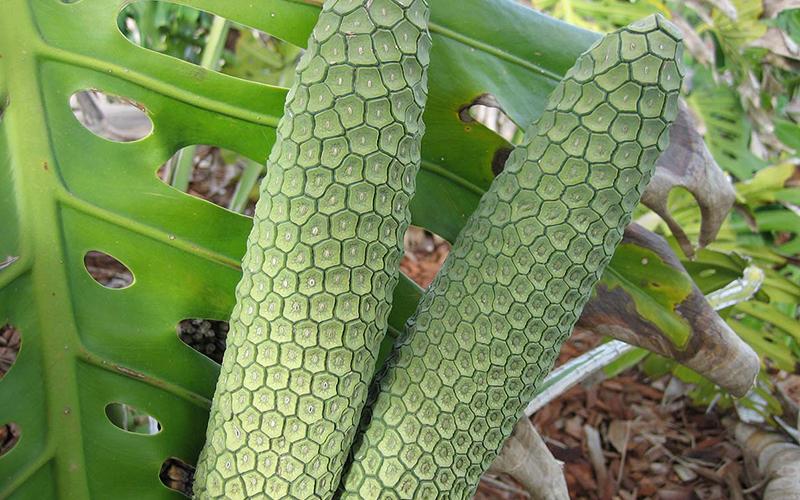 En Tuhaf Tropikal Meyveler - Deve Tabanı