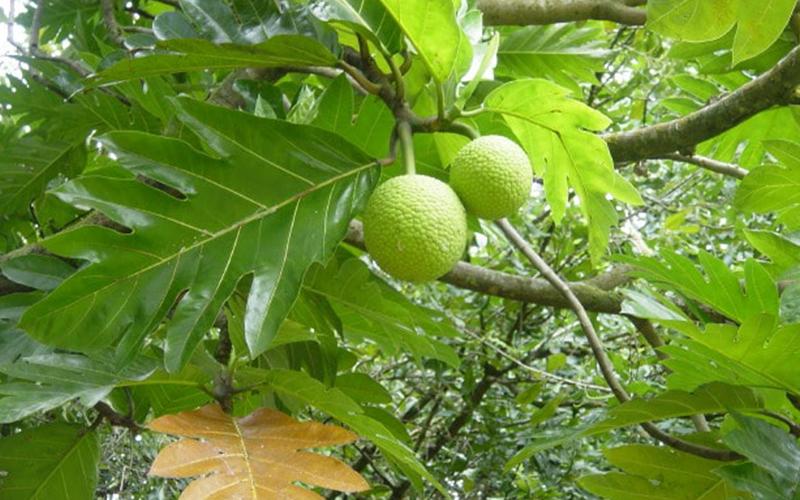 En Tuhaf Tropikal Meyveler - Ekmek Ağacı