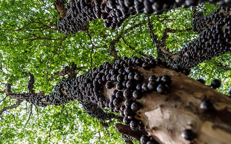 En Tuhaf Tropikal Meyveler - Jabuticaba